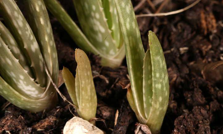 Aloe vera pups