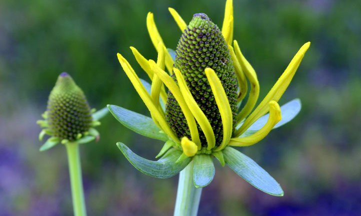 The striking yellow petals of Rudbeckia maxima