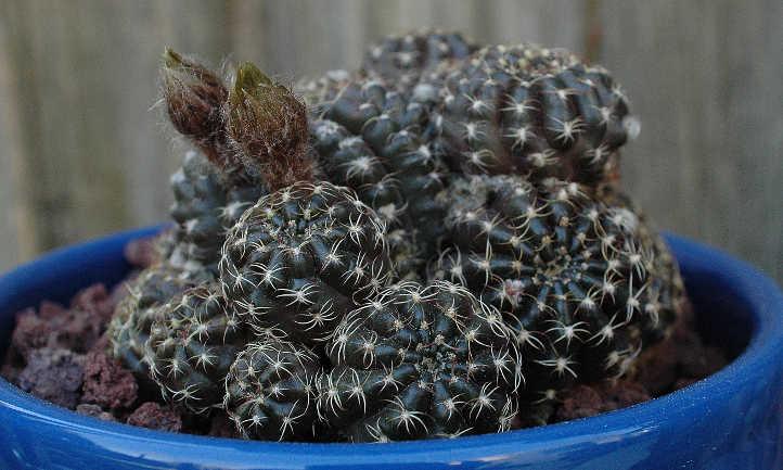 Echinopsis ancistrophora Arachnacantha