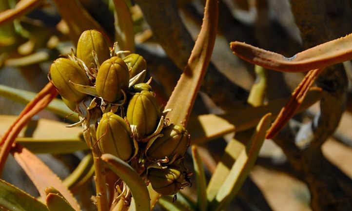 Aloe ramosissima seed pods