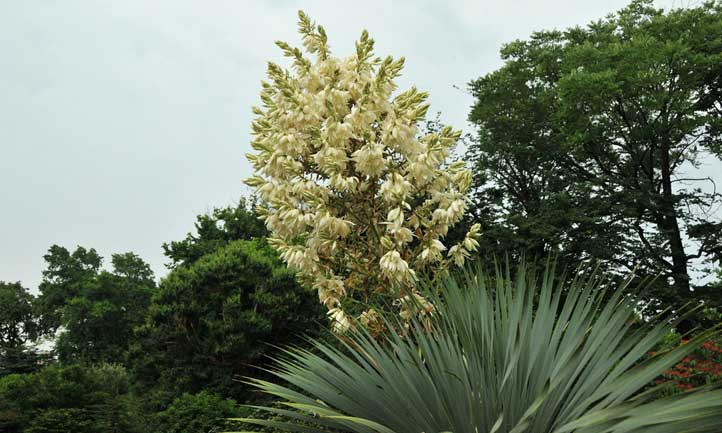 Beaked yucca flower spike