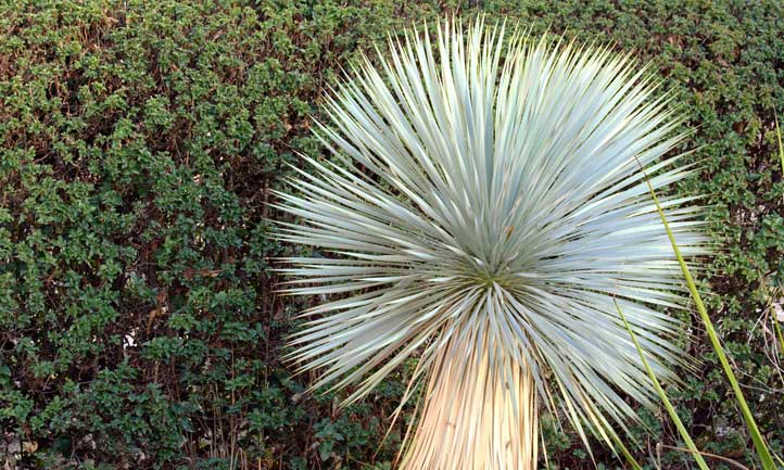 Yucca rostrata grows huge