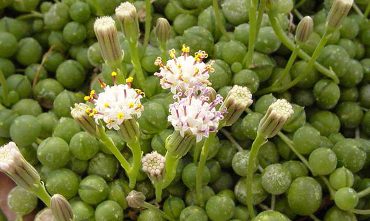 Senecio rowleyanus flowering