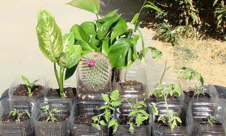 Propagating dieffenbachia with other plants