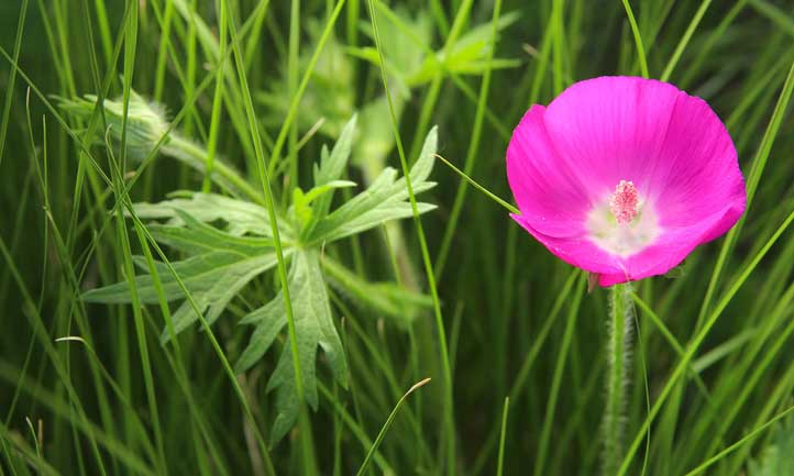 Purple poppy mallow sprawling over the ground