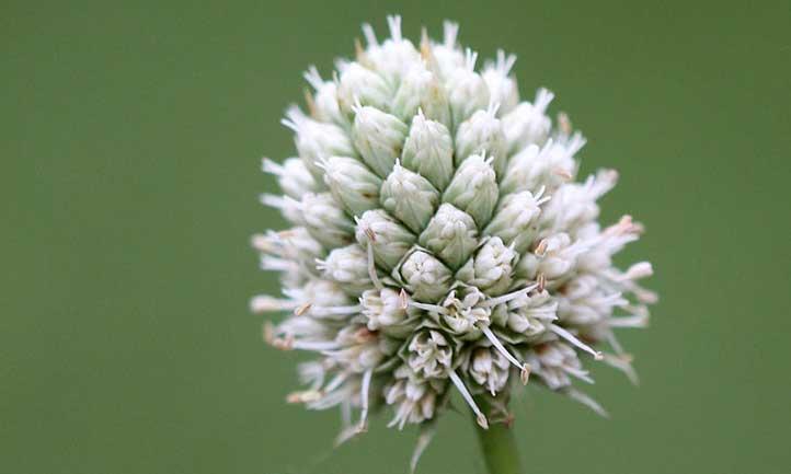 Eryngium yuccifolium flower