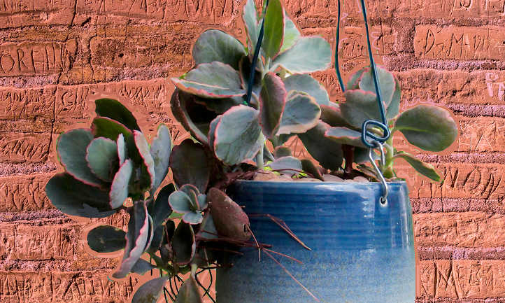 How to propagate kalanchoe