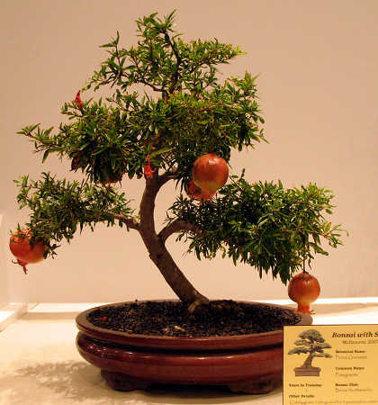 Pomegranate tree bonsai