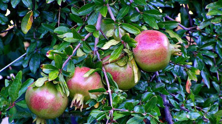 Ripening pomegranates