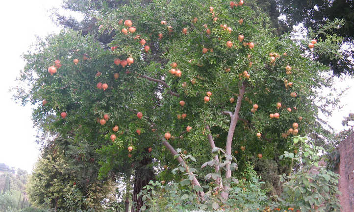 Three trunked pomegranate tree