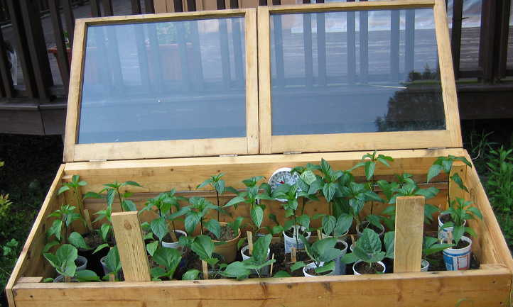 Cold frame with pepper plants