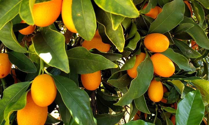 Kumquat tree flush with fruit