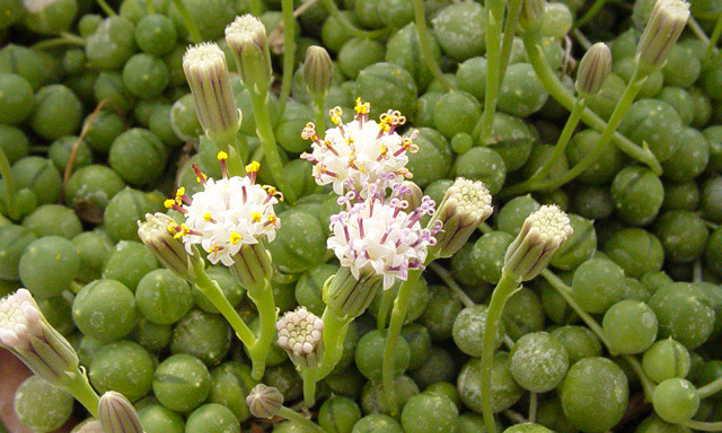 Senecio rowleyanus flowers
