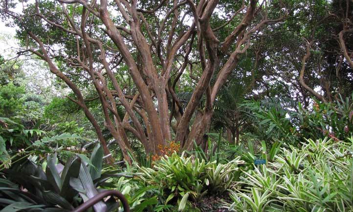 Cattley guava in a botanical garden in Hawaii.