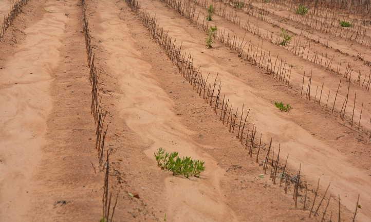 Sandy field before fertilization