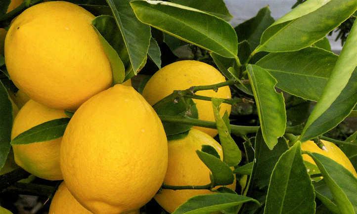 Meyer lemon tree care