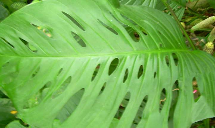 Mature Monstera adansonii leaf