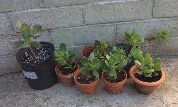 Young jade plants