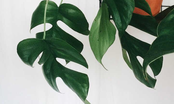 Mini monstera leaves