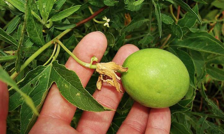 Passion fruit vine