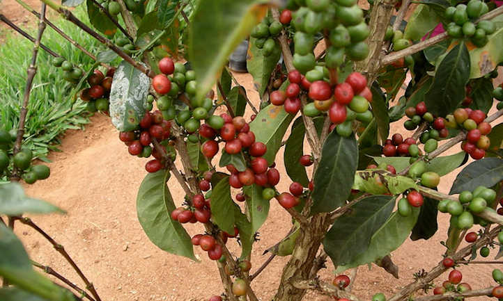 Coffee cherries ripening