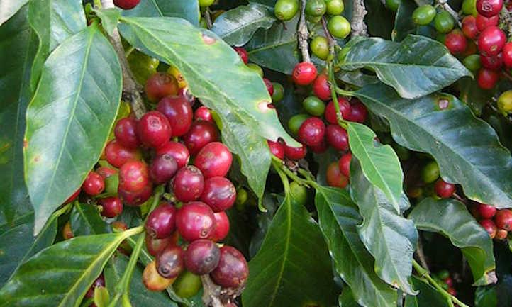 Slight pest damage on coffee plants