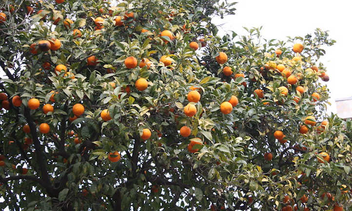 Fully loaded clementine tree