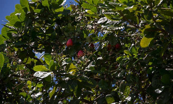 Almond fruit