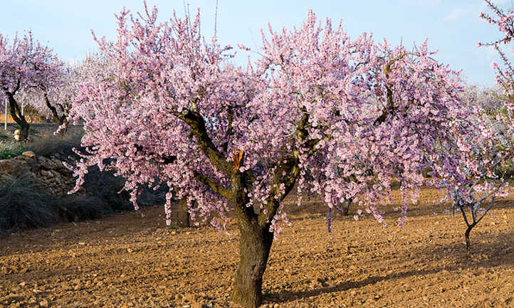 Almond Tree: Growing Your Favorite Snack | Epic Gardening