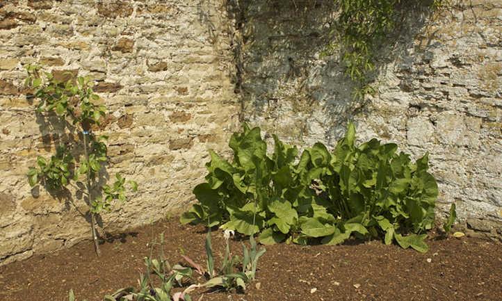 Horseradish plants in corner