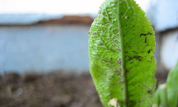 Horseradish seedling