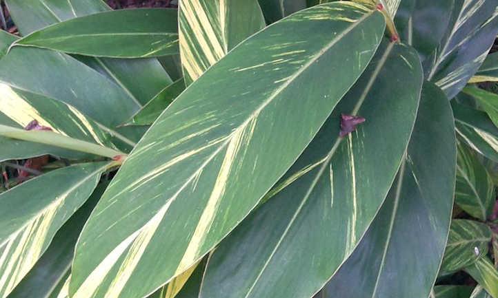 Variegated flowering ginger leaf
