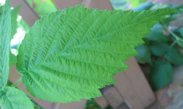 Close up raspberry leaf