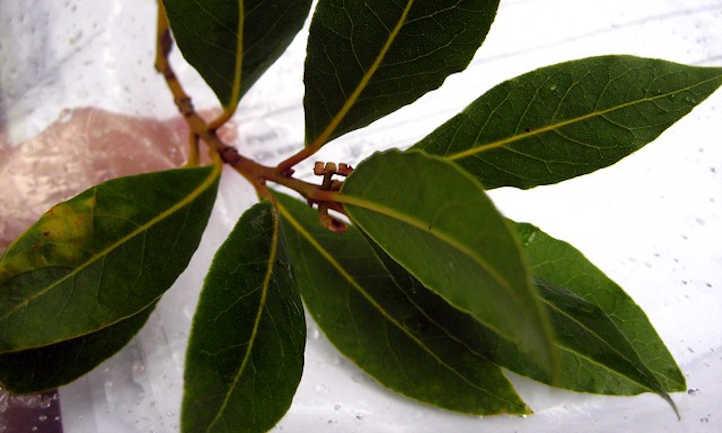 Bay leaf cluster