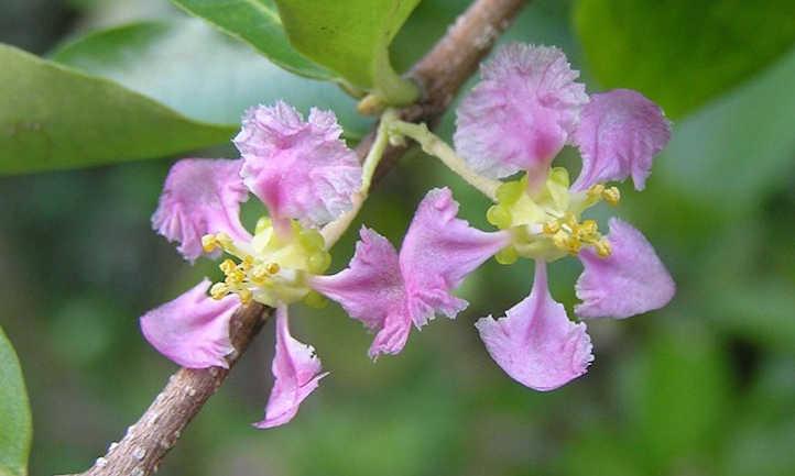 Malpighia glabra flowers