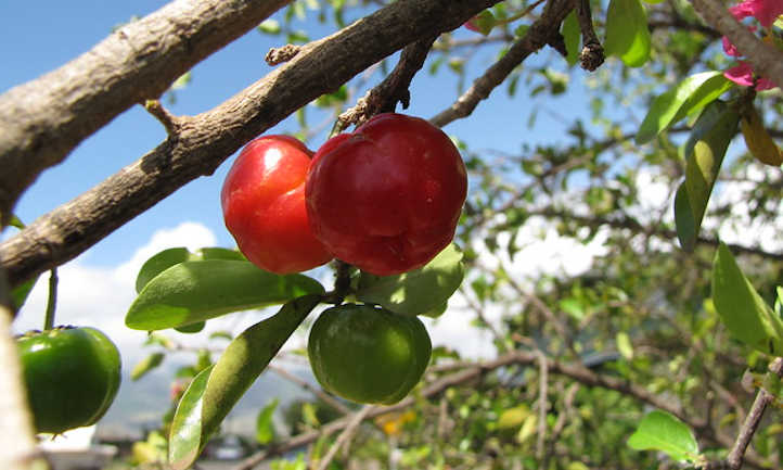 Ripe and unripe West Indian cherries