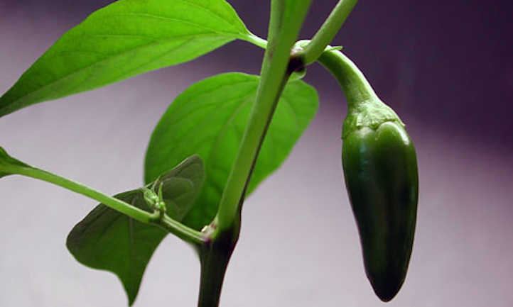 Growing jalapenos