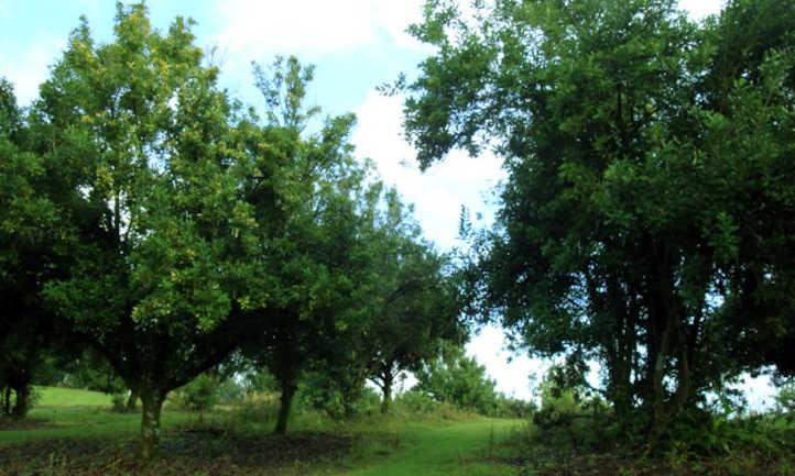 Macadamia árvores de nozes