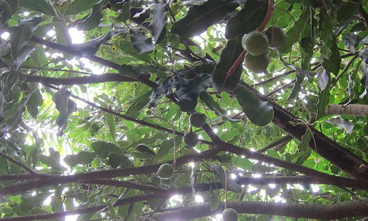 Unripe macadamia nuts