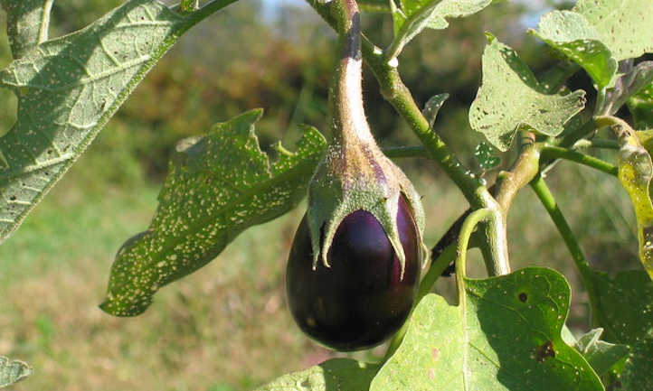 Bug damaged eggplant