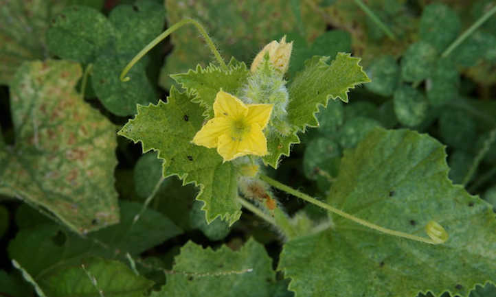Cantaloupe flower and leaf spot