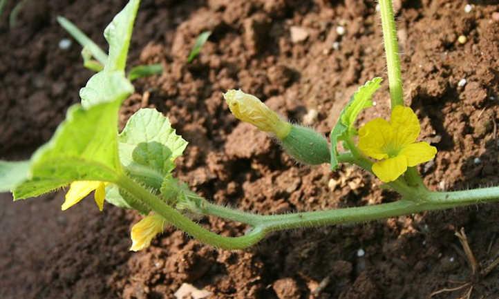 Female cantaloupe flower