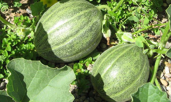 Unripe green cantaloupes