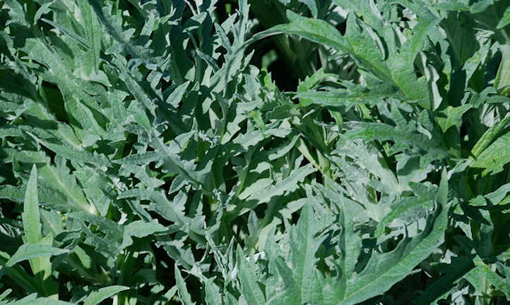 Artichoke foliage