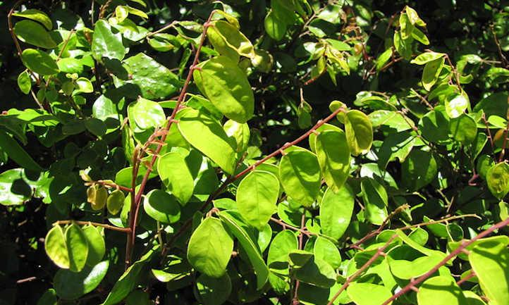 Carambola branches