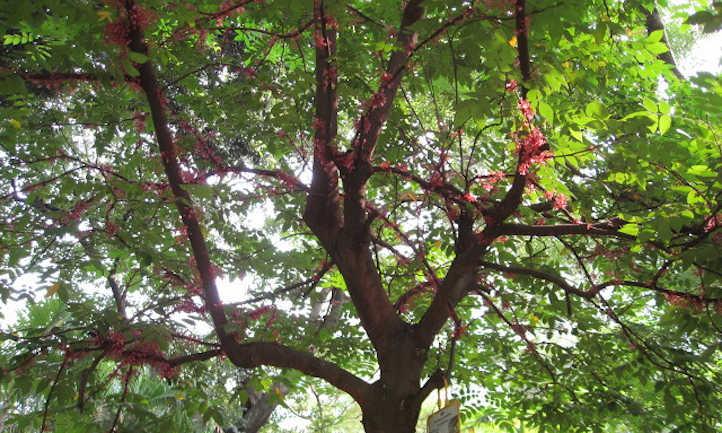 Star fruit tree in bloom