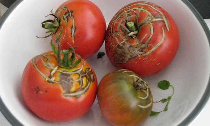 Concentric cracks in heirloom tomatoes