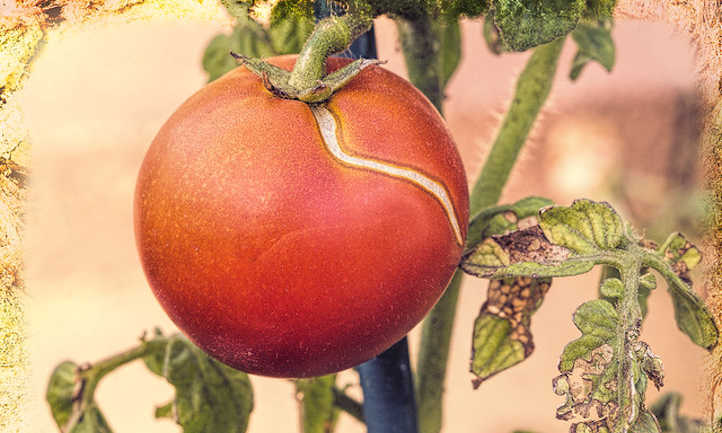 Why Do Tomatoes Crack