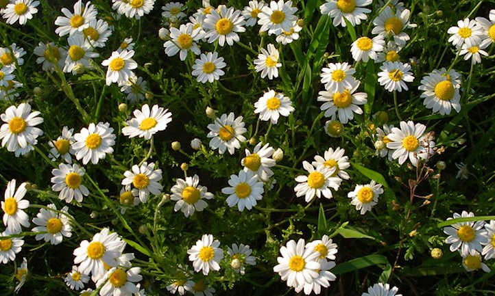 Growing chamomile