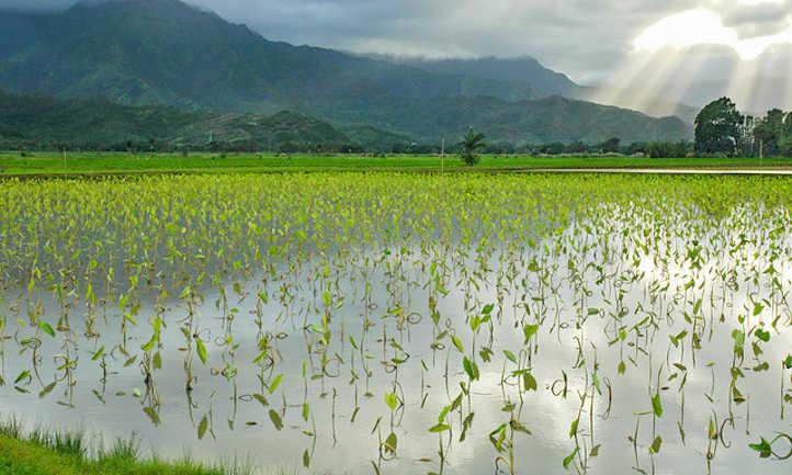 Flooded taro fields